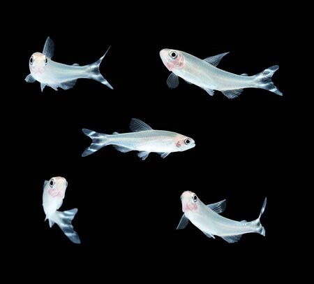 tetra fish: Rummy-nose Tetra Hemigrammus rhodostomus bleheri freshwater aquarium fish Stock Photo