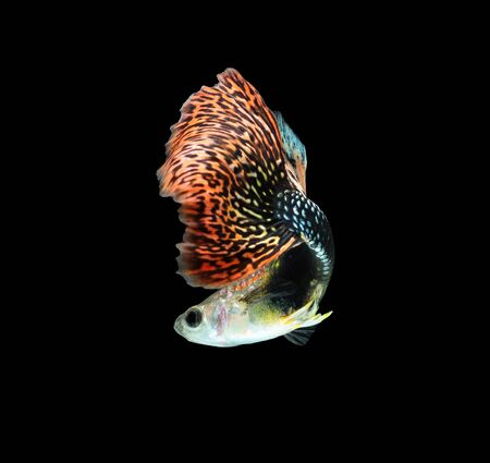 poecilia: Guppy fish isolated on black background (Poecilia reticulata)