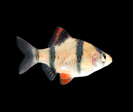 barbus: Aquarium fish - barbus puntius tetrazona isolated on black