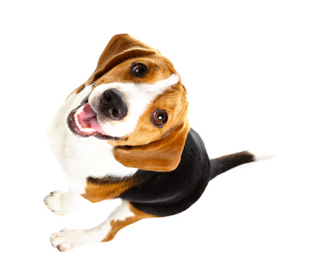 beagle dog isolated on white background Stok Fotoğraf