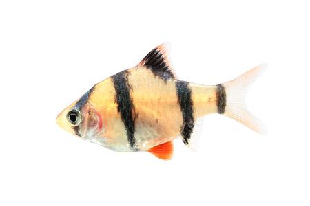tetrazona: Aquarium fish, barbus puntius tetrazona isolated on white Stock Photo
