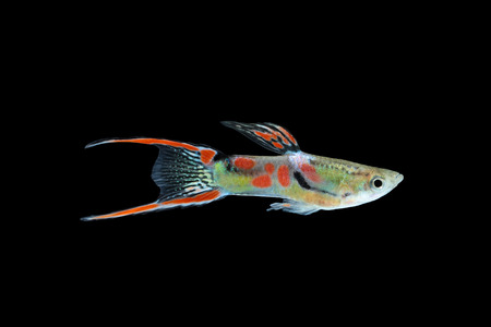 poecilia: Wild guppy fish isolated on black background (Poecilia reticulata)