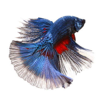 blue fish: Betta fish, siamese fighting fish, betta splendens (Halfmoon betta )isolated on white background Stock Photo