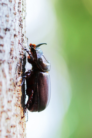 horn beetle: Horn beetle (Dynastinae)