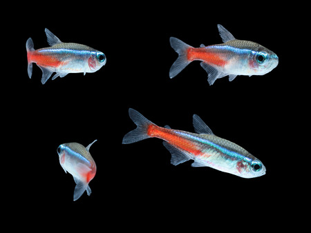 tetra fish: Neon Tetra Paracheirodon innesi freshwater tropical fish isolated Stock Photo