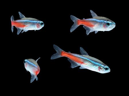 Neon Tetra Paracheirodon innesi freshwater tropical fish isolated Standard-Bild