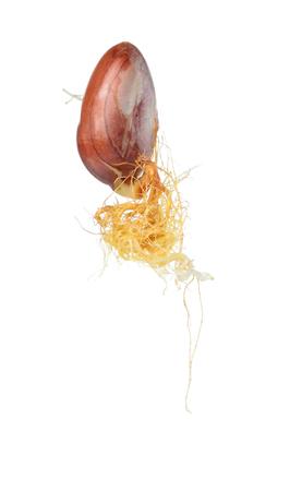 germinación: La germinación de las semillas de aislar en blanco