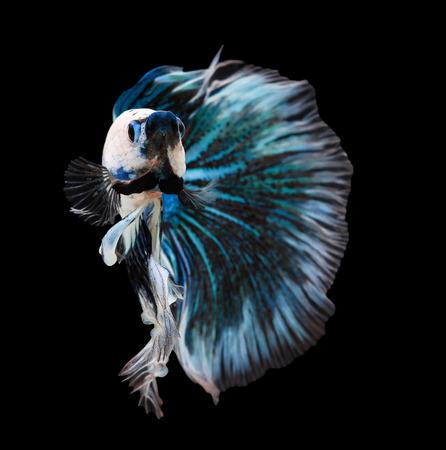 blue fish: Betta fish, siamese fighting fish, betta splendens (Halfmoon betta )isolated on black background Stock Photo