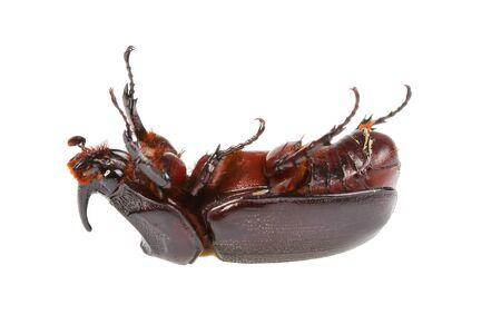 horn beetle: Horn beetle (Dynastinae) on white  background.