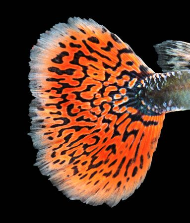 guppy: Texture of tail guppy fish