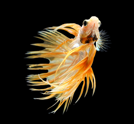 crown tail: Betta fish, siamese fighting fish, betta splendens (Crown Tail) isolated on black background Stock Photo