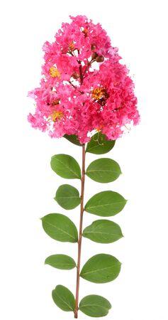 myrtle green: crepe myrtle flowers