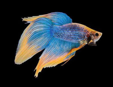 fish isolated: Betta fish, siamese fighting fish, betta splendens isolated on black background Stock Photo