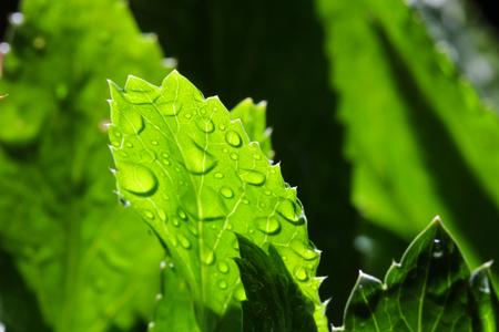 culantro: Cierre de hojas de cilantro