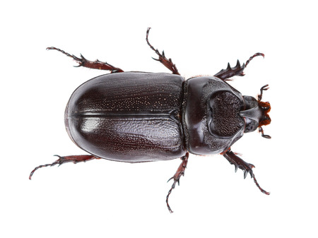 insect: Horn beetle (Dynastinae) on white  background.