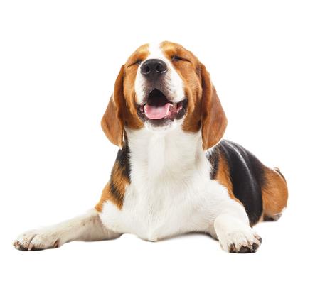 白い背景で隔離のビーグル犬 写真素材
