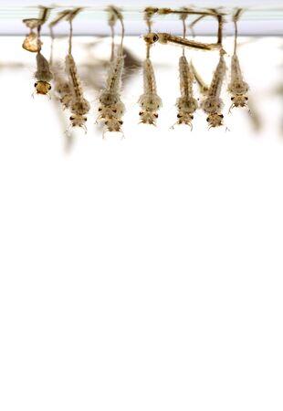 mosquitos: mosquitos larva on white background. Stock Photo