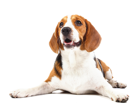 beagle puppy: beagle dog isolated on white background Stock Photo