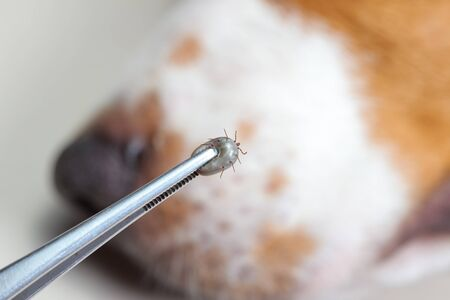 Closeup of human hands use silver pliers to remove dog adult tick from the fur Standard-Bild