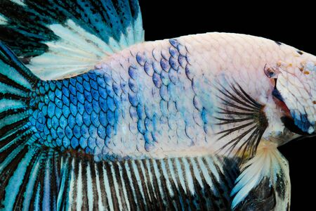 animal skin: Close-up on a fish skin - Siamese fighting fish Stock Photo