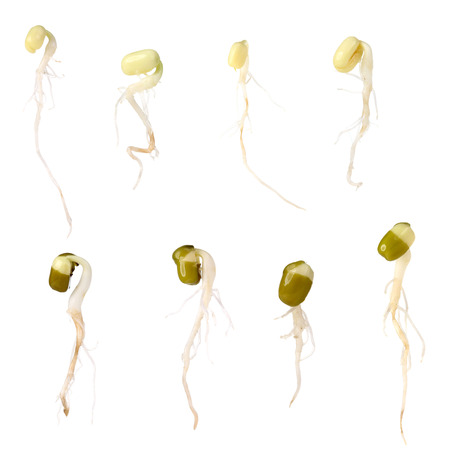 soja: Bean Sprouts on White Background Stock Photo