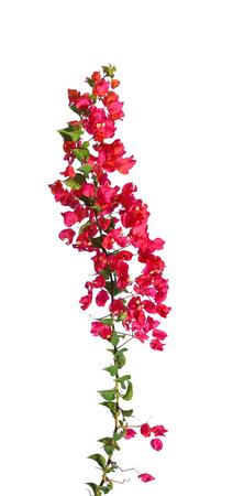 bougainvillea blooms isolate on white Standard-Bild