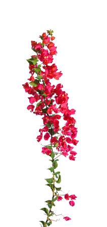 bougainvillea blooms isolate on white Stock Photo