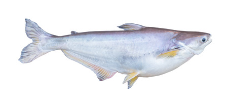 Pangasius Sutchi isolate on white