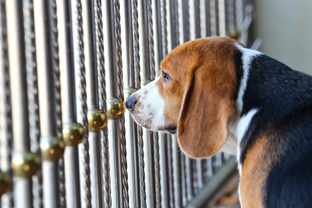 sad beagle dog in the cage