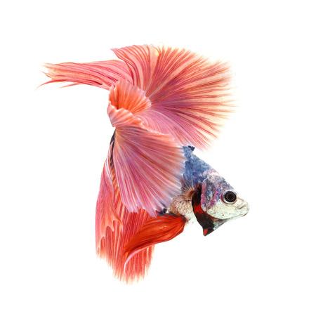 escamas de peces: Pez Betta, pescados que luchan siameses, Betta splendens (Fullmoon betta) aislado en fondo blanco