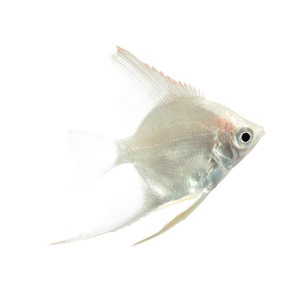 scalare: Angelfish (Pterophyllum scalare) isolated on white background
