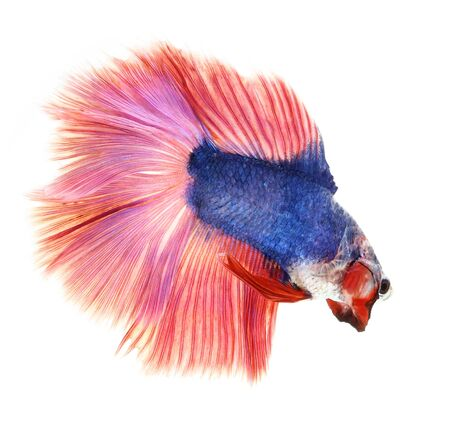 betta splendens: Betta fish, siamese fighting fish, betta splendens (Fullmoon betta )isolated on white background