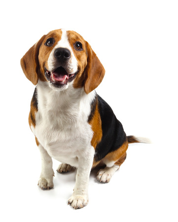 beagle dog isolated on white background Banque d'images