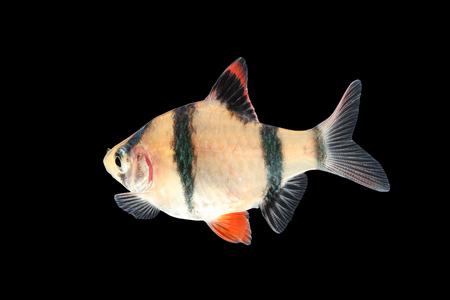 tetrazona: Aquarium fish - barbus puntius tetrazona isolated on black