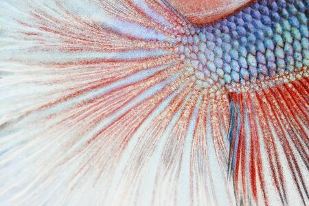 siamese fighting fish: Texture of tail siamese fighting fish Stock Photo