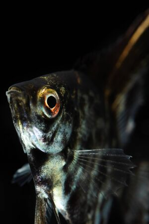 pterophyllum: Angelfish (Pterophyllum scalare) isolated on black background Stock Photo