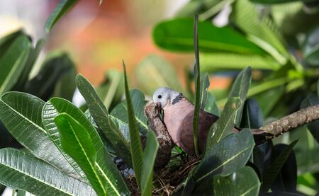 nestling: Red collared dove (Streptopelia tranquebarica ) feed his nestling Stock Photo
