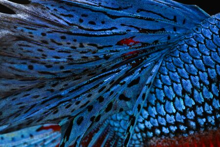 animal fight: Texture of tail siamese fighting fish Stock Photo