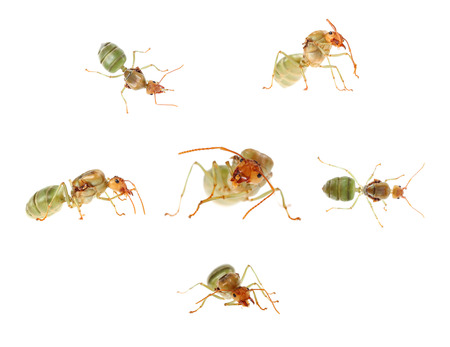 stomach bug: red ant Queen isolate on white