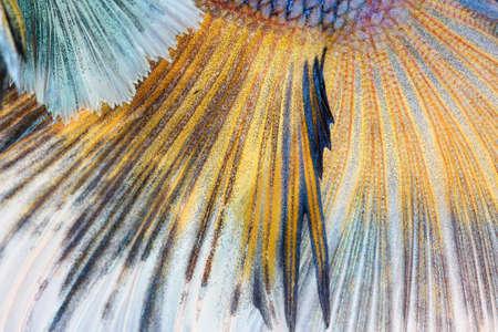 siamese fighting fish: Texture of tail siamese fighting fish Stock Photo