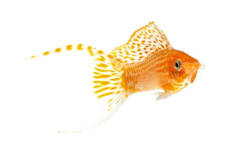 sailfin: Molly fish isolated on white