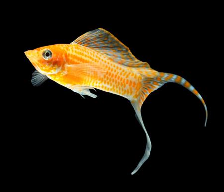 poecilia: Molly fish isolated on black