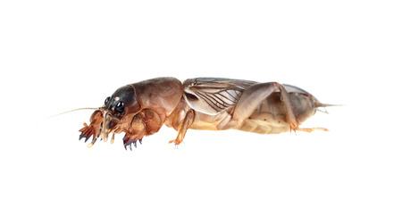 Mole cricket op een witte achtergrond (Gryllotalpidae) Stockfoto