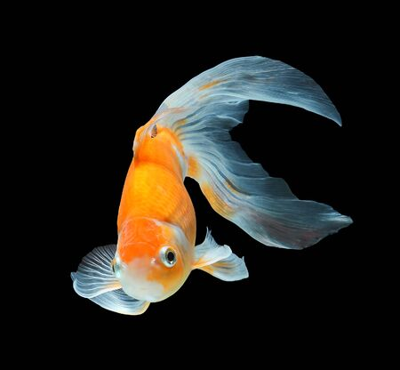 red  fish: Koi fish isolated on black background
