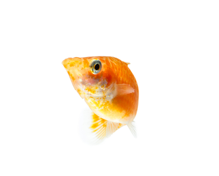 poecilia: Molly fish isolated on white