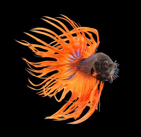 betta splendens: Betta fish, siamese fighting fish, betta splendens (Crown Tail) isolated on black background Stock Photo