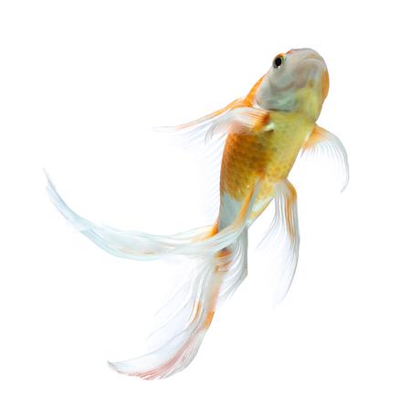 fish isolated: Koi fish isolated on white background Stock Photo