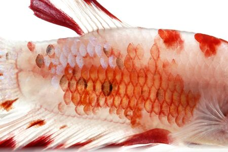 caudal: Close-up on a fish skin - Siamese fighting fish Stock Photo