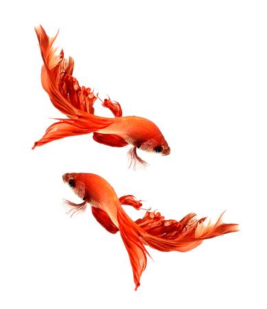 escamas de peces: Pez Betta, pescados que luchan siameses, Betta splendens (Halfmoon betta) aislado en fondo blanco