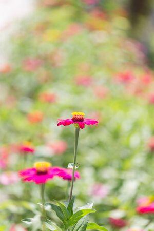 cav: Zinnia flower (Zinnia violacea Cav.) selective solf focus.